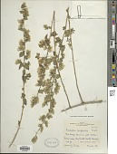 view Brickellia californica (Torr. & A. Gray) A. Gray digital asset number 1
