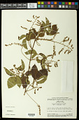 view Serjania meridionalis Cambess. digital asset number 1