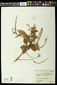 view Serjania multiflora Cambess. digital asset number 1