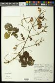 view Serjania ovalifolia Radlk. digital asset number 1