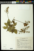 view Serjania paradoxa f. subtomentosa Radlk. digital asset number 1