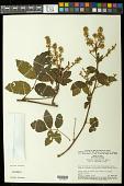 view Serjania pinnatifolia Radlk. digital asset number 1
