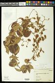 view Serjania reticulata Cambess. digital asset number 1