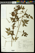 view Serjania thoracoides Radlk. digital asset number 1