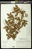 view Paullinia carpopodea Cambess. digital asset number 1