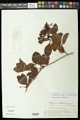 view Paullinia coriacea Casar. digital asset number 1