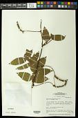 view Paullinia leiocarpa Griseb. digital asset number 1