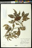 view Paullinia racemosa Wawra digital asset number 1