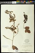 view Paullinia weinmanniaefolia Mart. digital asset number 1