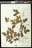 view Serjania salzmanniana Schltdl. digital asset number 1