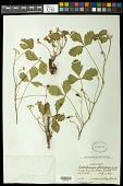 view Cardiospermum pterocarpum Radlk. digital asset number 1
