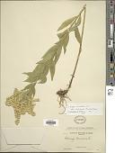 view Solidago canadensis var. salebrosa (Piper) M.E. Jones digital asset number 1