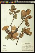 view Ficus guianensis Desv. digital asset number 1