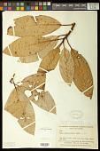 view Ficus insipida Willd. digital asset number 1