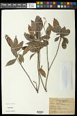 view Galipea trifoliata digital asset number 1