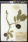 view Citrus x aurantifolia (Christm.) Swingle digital asset number 1