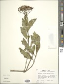 view Ageratina lucida (Ortega) R.M. King & H. Rob. digital asset number 1