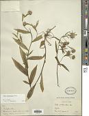 view Symphyotrichum subspicatum (Nees) G.L. Nesom digital asset number 1