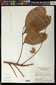 view Protium nitidifolium (Cuatrec.) Daly digital asset number 1