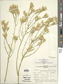 view Ericameria nauseosa var. leiosperma (A. Gray) G.L. Nesom & G.I. Baird digital asset number 1