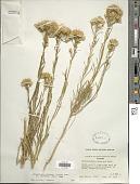 view Ericameria nauseosa var. graveolens (Nutt.) Reveal & Schuyler digital asset number 1