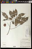 view Protium sagotianum Marchand digital asset number 1