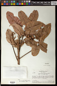 view Trattinickia rhoifolia digital asset number 1