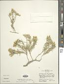 view Ericameria parryi var. attenuata (M.E. Jones) G.L. Nesom & G.I. Baird digital asset number 1