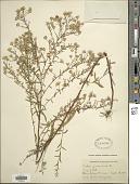 view Symphyotrichum dumosum (L.) G.L. Nesom digital asset number 1