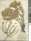 view Ericameria parryi var. nevadensis (A. Gray) G.L. Nesom & G.I. Baird digital asset number 1