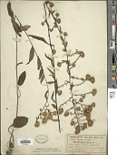 view Symphyotrichum sp. digital asset number 1