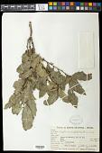 view Maytenus ilicifolia (Schrad.) Planch. digital asset number 1