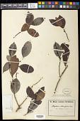 view Maytenus obtusifolia digital asset number 1