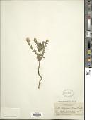 view Symphyotrichum commutatus ssp. crassulus (indet)? digital asset number 1