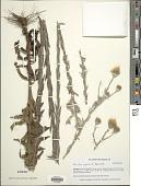 view Noticastrum gnaphalioides (Baker) Cuatrec. digital asset number 1