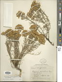 view Ericameria nauseosa var. nauseosa (Pall. ex Pursh) G.L. Nesom & G.I. Baird digital asset number 1