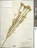 view Ericameria nauseosa var. oreophila (A. Nelson) G.L. Nesom & G.I. Baird digital asset number 1