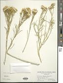 view Ericameria nauseosa var. bernardina (H.M. Hall) G.L. Nesom & G.I. Baird digital asset number 1