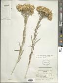 view Chrysothamnus nauseosus subsp. graveolens (Nutt.) Piper digital asset number 1
