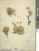view Stenotus acaulis (Nutt.) Nutt. digital asset number 1
