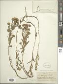 view Symphyotrichum campestre var. bloomeri (A. Gray) G.L. Nesom digital asset number 1