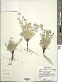 view Erigeron pumilus subsp. intermedius Cronq. digital asset number 1