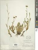 view Erigeron cervinus Greene digital asset number 1