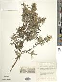view Olearia phlogopappa (Labill.) DC. digital asset number 1