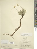 view Erigeron chrysopsidis digital asset number 1