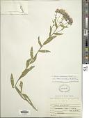 view Erigeron speciosus var. macranthus (Nutt.) Cronq. digital asset number 1