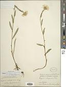 view Erigeron peregrinus (Banks ex Pursh) Greene digital asset number 1