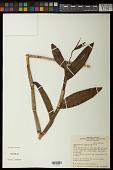 view Epidendrum nocturnum Jacq. digital asset number 1