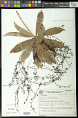 view Herreria latifolia Woodson digital asset number 1