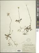 view Antennaria neglecta Greene digital asset number 1